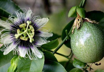 Flor e fruto maracujà