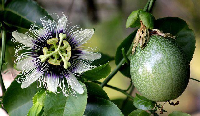 Fiore e frutto maracujà