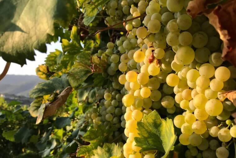 Grappolo d'uva al sole